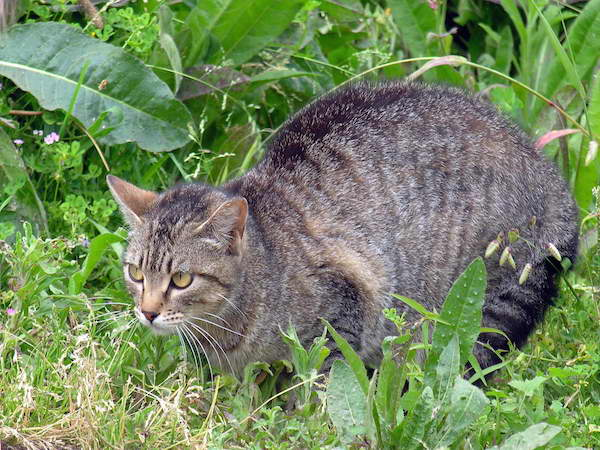 Strategies to limit feral cats' effects on biodiversity..