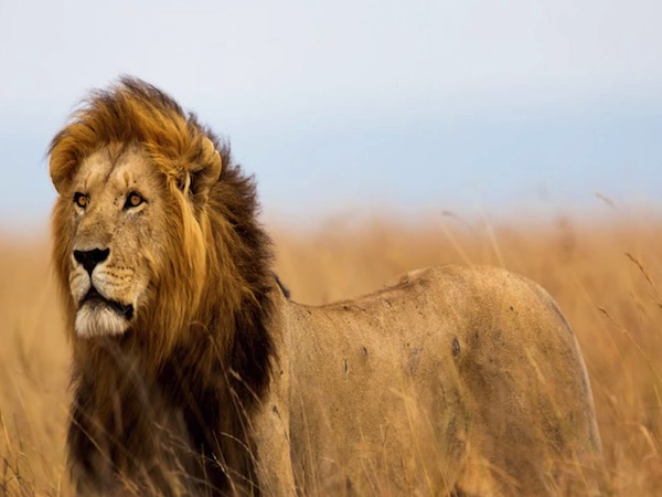 tt-editors-picks-2273-man-pays-55-000-to-shoot-kill-cecil-the-lion-large.thumb_