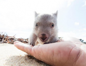 Baby wombat brings in tourists.
