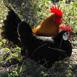 Bird flu: Ruffling a few feathers
