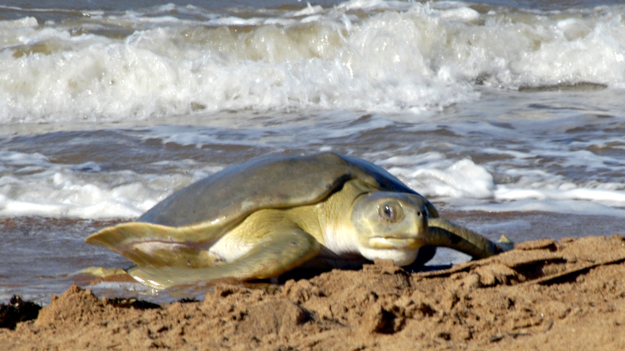The Inland Sea: Nesting flatback sea turtles
