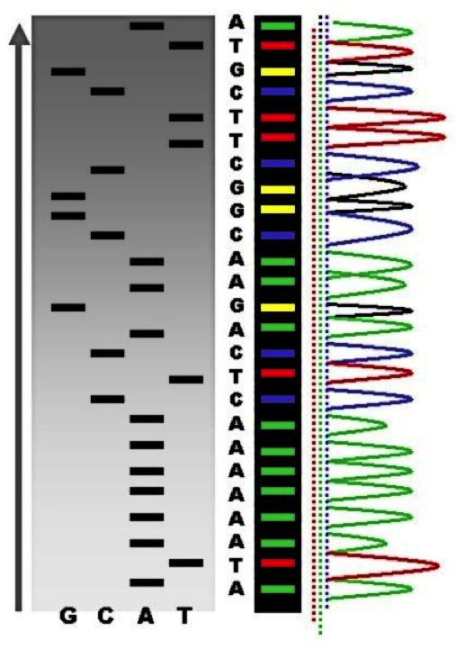 The end result of DNA sequencing.