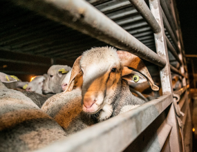 Investigation launched over the mistreatment of livestock