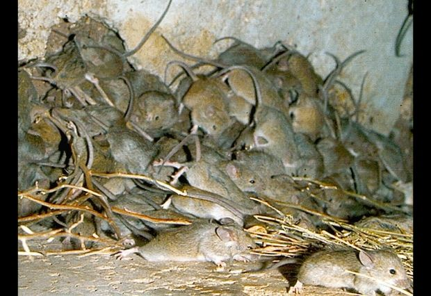 Explainer: Mouse plague rips through parts of NSW