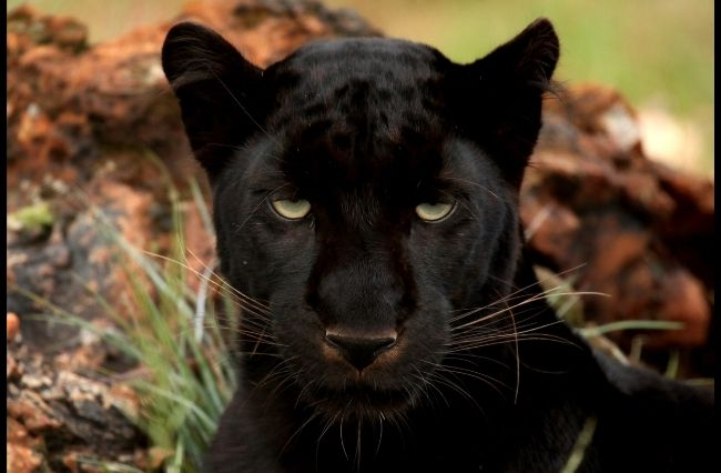 The lingering legend of the Australian panther